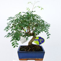 bonsai-fistashka-40sm