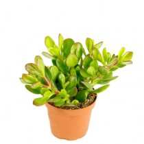 crassula_ovata_sunset23