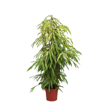 ficus_amstel_gold