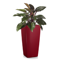 filodendron red