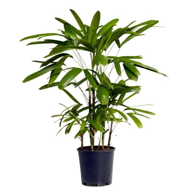 Рапис пальма (Lady Palm) 120/26