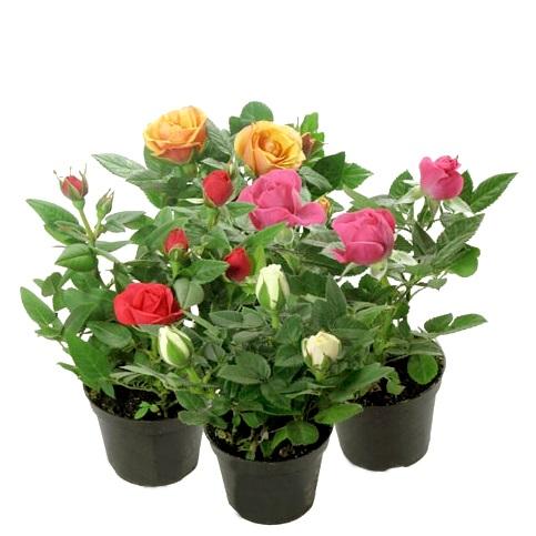 Роза кордана мини в ассортименте 10/6