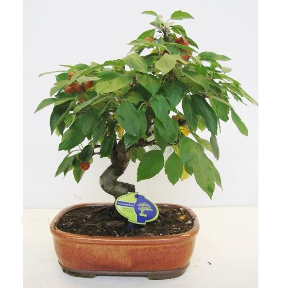 Бонсай яблоня вишневидная 50 см