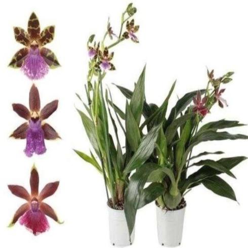 Орхидея зигопеталум в ассортименте